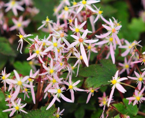 Woodland plants herbaceous woodlanders saxifraga fortunei mt nachi saxifraga fortunei pink cloud mightylinksfo