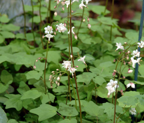 Woodland Plants Herbaceous Woodlanders Vancouveria