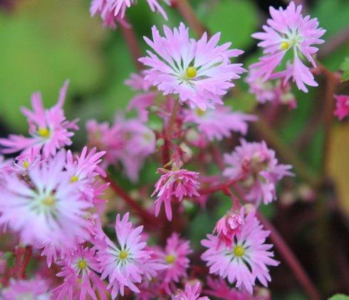 Woodland Plants Herbaceous Woodlanders Saxifraga Fortunei Beni Kirin